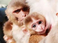 In a first in the country, female monkeys to be given oral 'contraceptive' in Uttarakhand