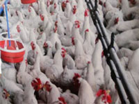 Poultry farm checks after Newcastle alarm