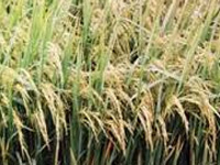 CSIR labs to come up with new rice variety, anti-malaria drug