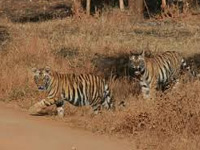 Kagaznagar tiger population thrives