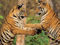India has 'too many' tigers!
