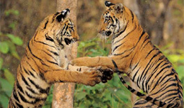 35 tigers die in three years, but cause of death not established
