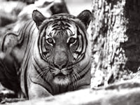 World's 1st White Tiger Safari in MP opens