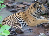 Madhya Pradesh tiger shifted due to river-link project