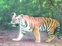 Odisha government faces criticism over dwindling tiger population