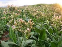 Efforts on to stop tobacco farming