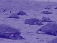 Carcasses of over 150 Olive Ridley turtles found