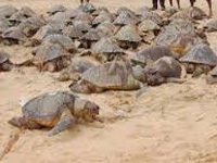 NTPC, forest dept sign MoU to protect Olive Ridley turtles