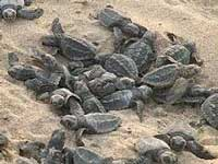 Centre sets up committee to decide if turtle sanctuary in Varanasi should be de-notified