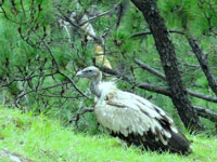 Vulture population on the rise in Madhya Pradesh