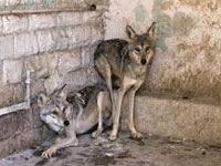 Wolf count fast dwindling in Rajasthan